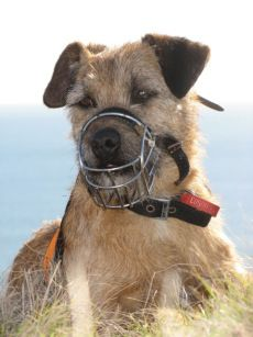 A tribute to Tiki the conservation dog: He was a small Border Terrier cross who specialised in detecting mustelids (weasels, stoats and ferrets).