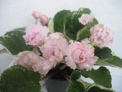 ЯН-Бокал (Н.А.Пуминова).   Махровые нежно-розовые цветы на хороших цветоносах.Бутоны бокаловидной формы, очень медленно распускающиеся. Листья зеленые с белой пестролистностью. Стандарт.