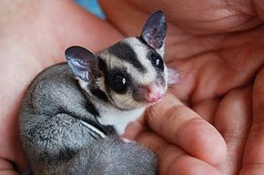 Baby Sugar Gliders | ... baby sugar glider 8 tiny sugar glider 9 the rogue my cat sugar sugar