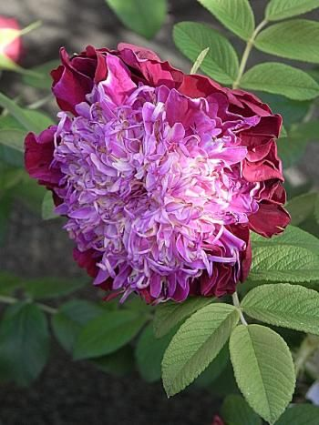 'Delarosa' Introduced in France by Pépinières Delaunay in 2010 as 'Souvenir de Trélazé'. Hybrid Rugosa.   Dark red, violet center.  Strong fragrance.  Very full (41+ petals) bloom form.  Blooms in flushes throughout the season.