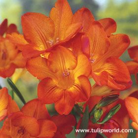 freesia, 'orange wonder' - 18-24""