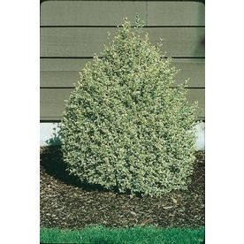Variegated Boxwood--could also be climbing hydrangea replacement.