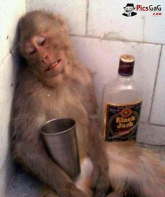 Drunken Monkey Funny  [ More Funny Monkey Pictures: http://www.picsgag.com/funny-animals/ ]