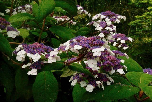 IF SOMEONE SAYS HYDRANGEA, many of us first conjure classic images of big blue moptops, or maybe the paniculata types [read more…]