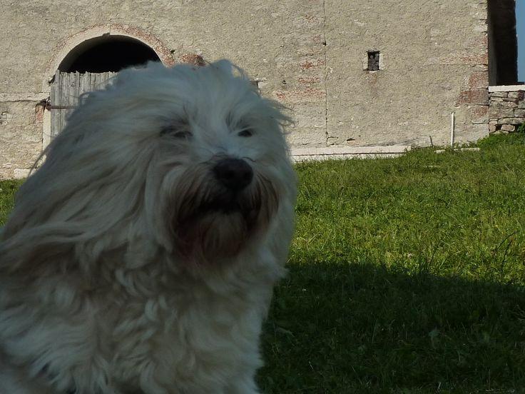 Benjamin- my adorable Tibetan Terrier (Dosa Lahso)