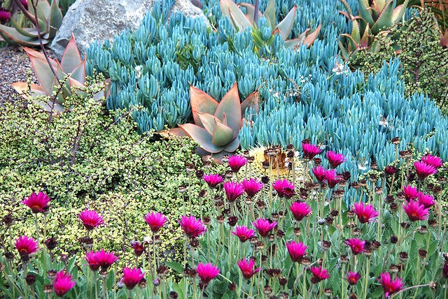 Blue senecio, orange tipped aloes, yellow variegated Elephant Bush ~ Portulacaria afra variegata, and brilliant magenta African daisies. Landscape photo, design and installation by Michael Buckner, The Plant Man, San Diego.