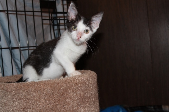 Meet 4 mth old Tiny Tim!  Tim was found wandering the streets alone with no mother or siblings.  We found a surrogate mum to step in and he's got a little temporary family under we find Tiny Tim his forever home.  To adopt go to www.orphankittenrescue.com