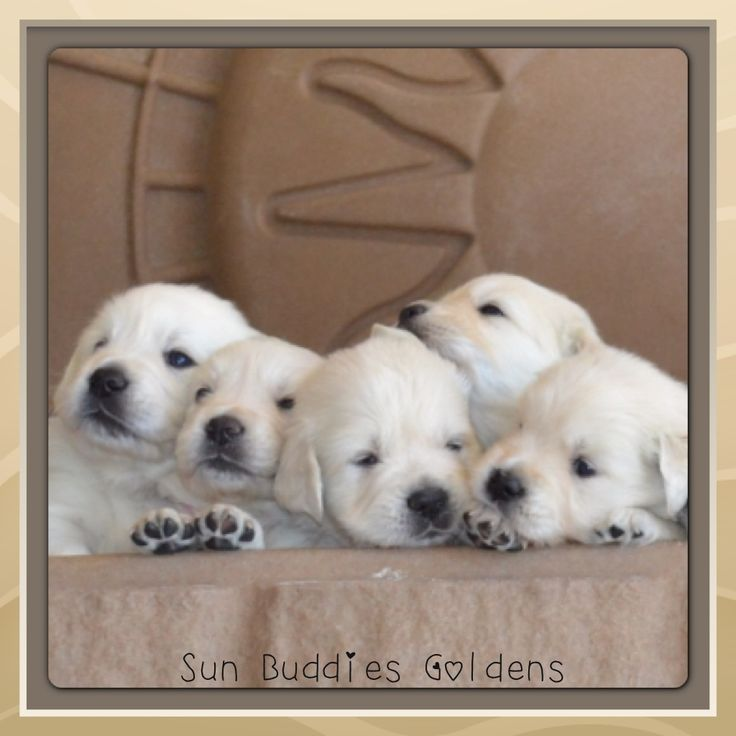 Golden Retriever Puppy Paws!!!!!  Awwwww......  #puppy #puppies #cute #dogs