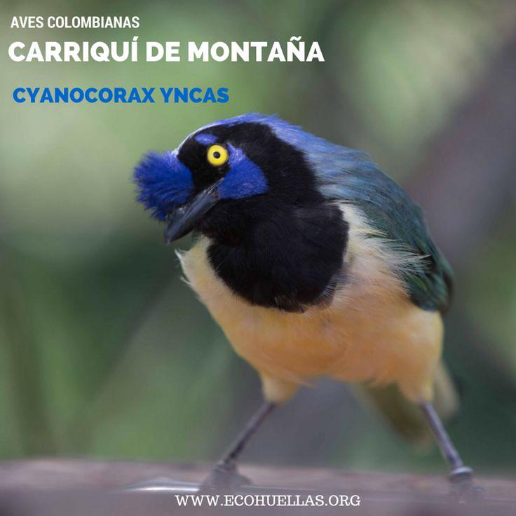 Carriquí de Montaña.    David Osorio L & Rafael Rincón   Aviario Nacional De Colombia  #EcoHuellas #EcoCielo #AvesColombianas