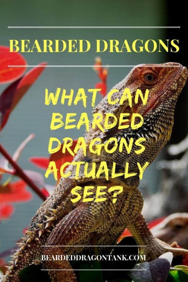 The 10 Best Bearded Dragon Toys And Activities In 2020 Baby Bearded Dragon Bearded Dragon Bearded Dragon Toys