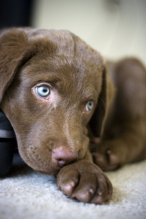 Chesapeake Bay Retriever..... Could he BE the Weimaraner and Chocolate Lab MIX that No One Realized?? Blue eyes and chocolate coloring's??