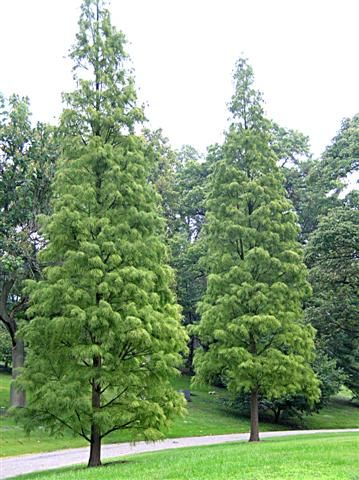 Taxodium ascendens. A conifer that's soft, and pleasant looking.