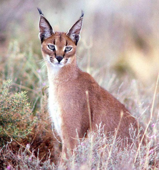 Did you know that the nickname of a caracal 'desert lynx' is?