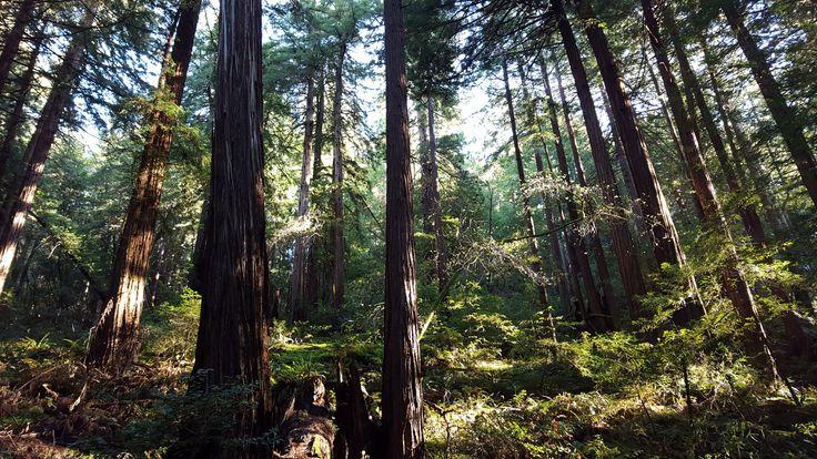 Morning sun peeking through the trees at Muir Woods National Monument shot on my phone - Imgur