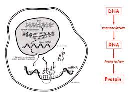 Central Dogma is the term that explains how each gene carries the information needed to create a protein. Through transcription and translation, we go from DNA gene to protein.