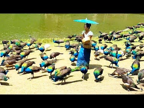 Peacock flying and peacock sound - YouTube | Animals