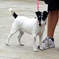 Lathrop, California - Smooth Fox Terrier. Meet Rainy, a for adoption. https://www.adoptapet.com/pet/20530801-lathrop-california-smooth-fox-terrier