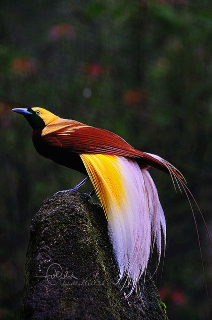 bird of paradise  uniquely coloured, exotically tailed, equisitely lined & detailed!: Colourful Birds, Exotic Birds, Paradise طائر, Bird Of Paradise, Animals Birds, Beautiful Birds, Ave