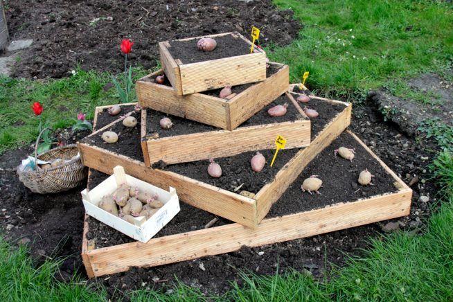 Kartoffeln Pflanzen Antworten Auf Alle Fragen Kartoffeln Pflanzen Pflanzen Pflanzenbeet