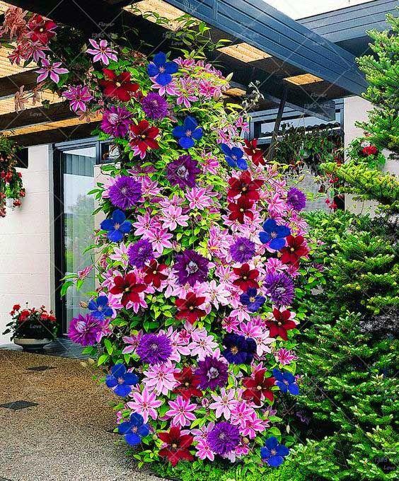 Spectacular  st cke klettern clematis lampen clematis baum lampen Garten pflanzen mehrj hrige pflanzen seltene blumenzwiebeln