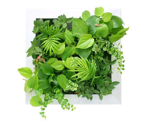 【楽天市場】【ミドリエ midorie】壁掛け 観葉植物 インテリアグリーン スクエアフレーム 特大サイズ (アルミ):ふらここ