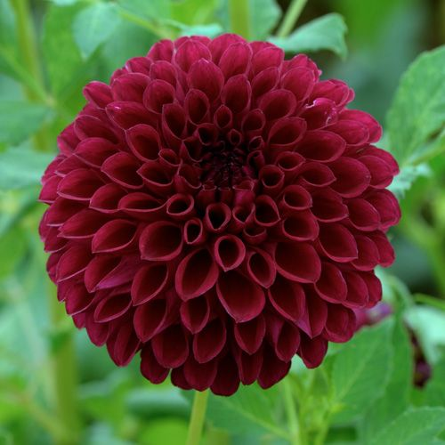78 best dahlia images on pinterest | flowers, flower gardening and