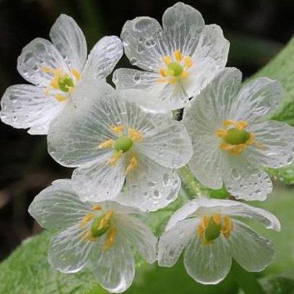 Znaleziono W Google Na Stronie Newchic Com Lotus Flower Seeds Flower Seeds Skeleton Flower