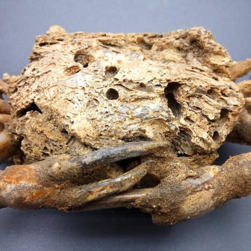 Pusaka Fosil Kepiting Raksasa
