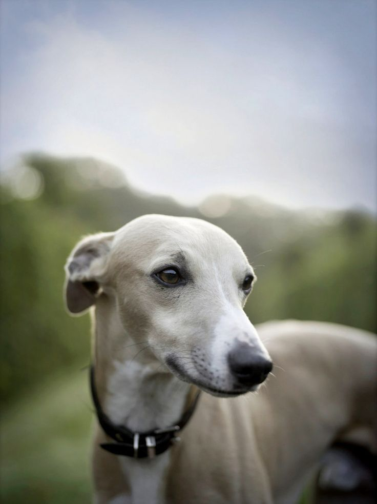 12 Reasons Why You Should Never Own Whippets