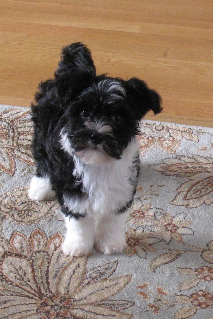 cute black and white chinese crested poodle mix. i love