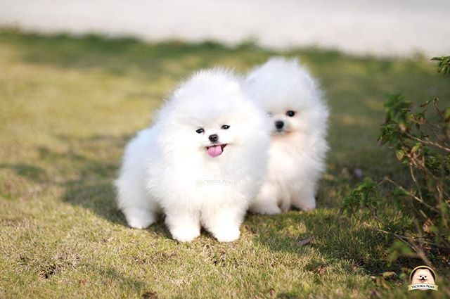 High quality babies for sell #pom #poms#pomeranians #whitepom #pomlovers #puppy#baby#sweet