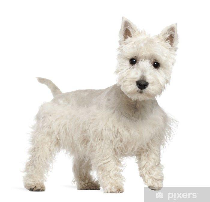 Fotobehang West Highland White Terrier Puppy 6 Maanden Oud Terrier In 2020 West Highland White Terrier White Terrier West Highland Terrier