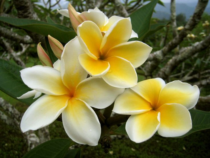 Tropical Island Flowers: 31 Best Images About Cook Island Tiares On Pinterest