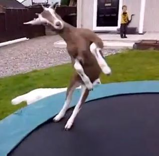 Goat jumping on a trampoline