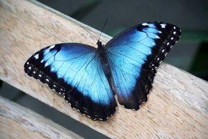 My blue butterfly <3
