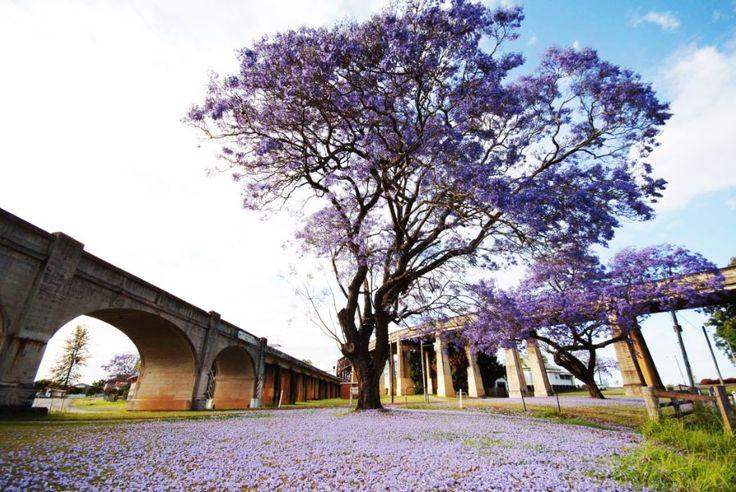 #Travel and #Inspiration: Jacarandas Tree, NSW, #Australia