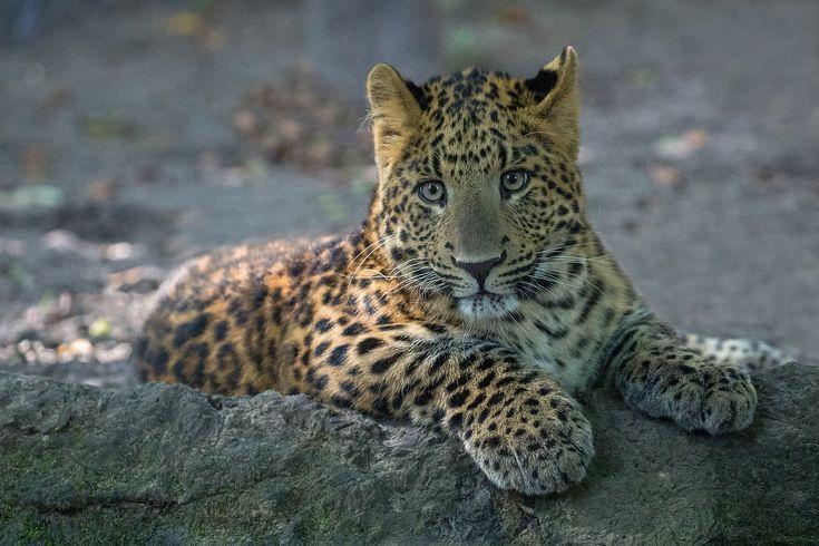https://flic.kr/p/G66RUt | Jungspund | Nachwuchs China-Leopard aus dem Zoo Eberswalde