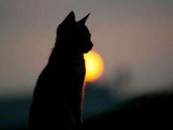 Кот Басё