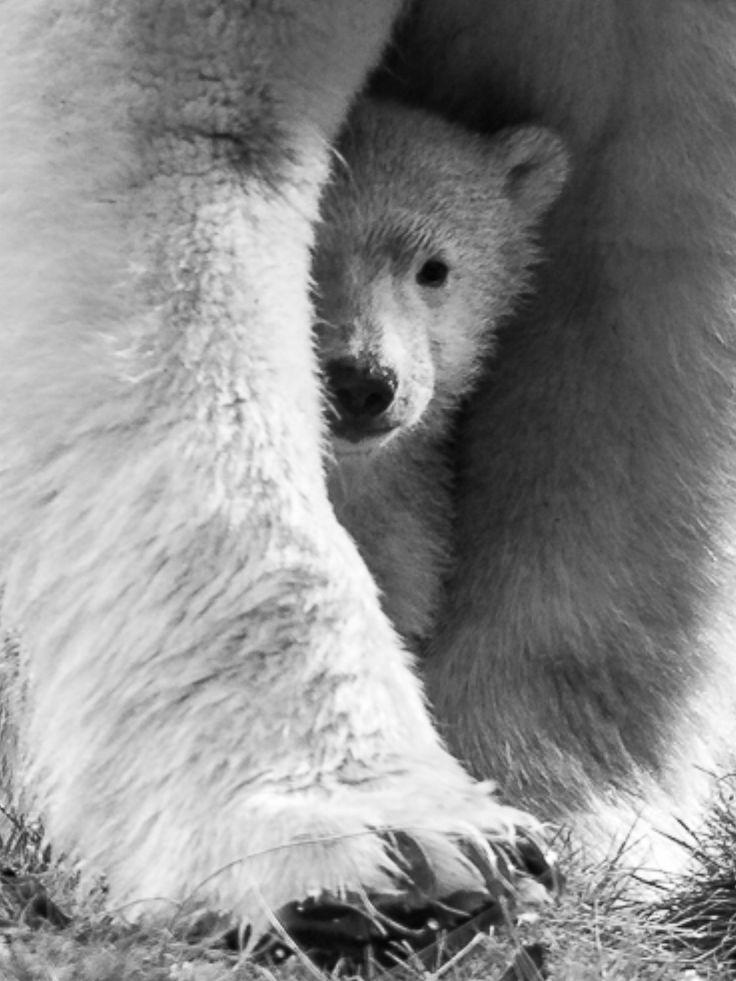 Mom. Polar Bears
