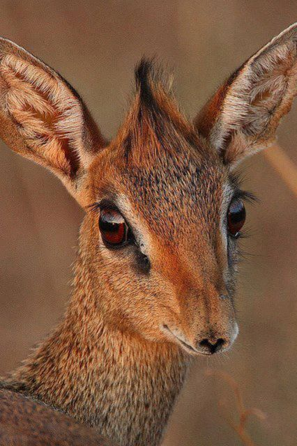 A female Kirk's Dik-dik antelope. Unlike most other antelope, Dik-dik are monogamous. In fact they form a very tight bond rarely leaving each other.
