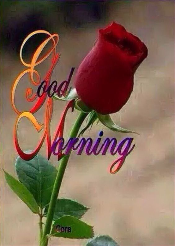 Beautiful Good Morning Rose Have A Great Day Good