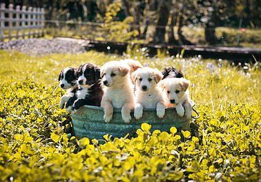 Six week old English Shepherd puppies