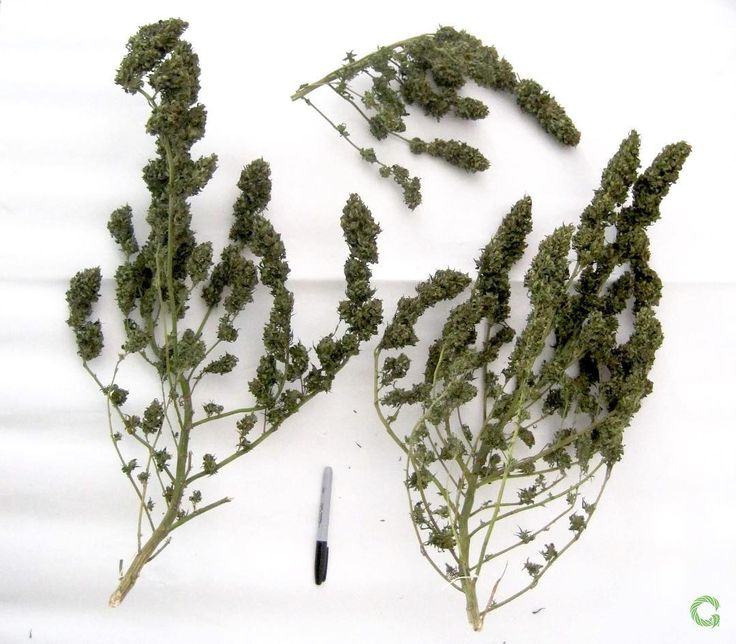 GROWDIARIES.COM Sour Tangie by kaediodr @reservaprivada _______________________________ Outdoor LST ScrOG Week 22 880g 2 Plants _______________________________ @plagron_passiton pk 13-14 #Atami ATA NRG Root-C #BioMango Biomassa Florastimo Crescita (Vegetative) Fioritura (Bloom) #growjournal #growdiary #growdiaries #weednation #cannaculture #weeddaily #weednation #weedstagram #weed420feed #weedsspirits #cannabis #cannabiscommunity #cannabis420 #cannabisclub #cannabischannel