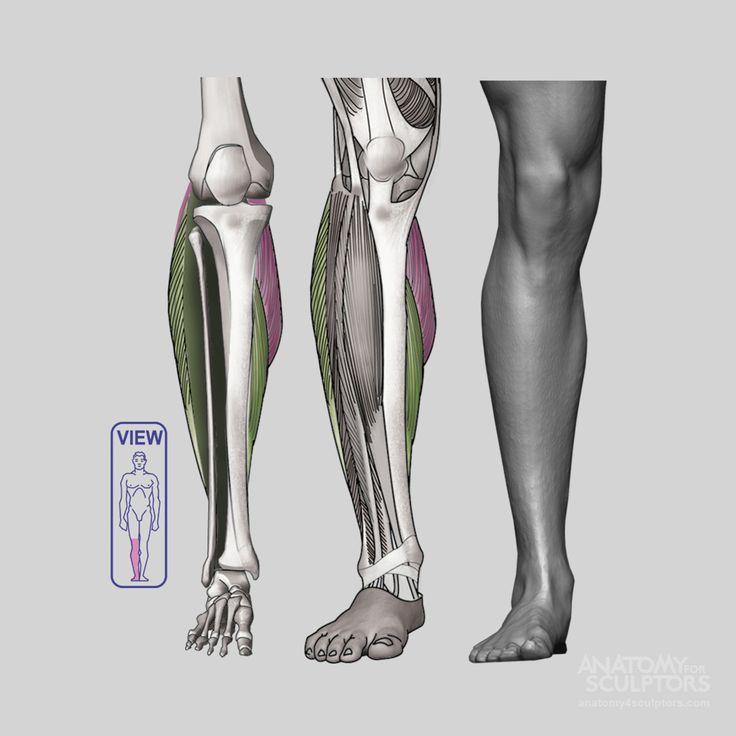 159 best Anatomy for Sculptors - Leg images on Pinterest | Human ...