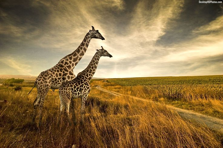 High Quality Free Giraffe Wallpapers 1920×1080 Giraffe Images Wallpapers (41 Wallpapers) | Adorable Wallpapers