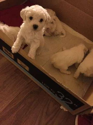 I have 3 females and 3 males pure breed Bichon Frise pups born on 10 October 2015 and will be available to go to their new homes from 04 December 2015.  Puppies will be vaccinated, microchipped, wormed and vet checks. Pups are $1200 and there will be a $200 holding deposit that will secure your puppy. Please contact - https://www.pups4sale.com.au/dog-breed/421/Bichon-Frise.html