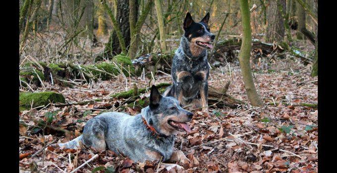 10 Best Australian Cattle Dog Essentials Accessories And Toys Https Www Dogproductpicker Com Best Australian Cattl Cattle Dog Blue Heeler Dogs Dog Essentials