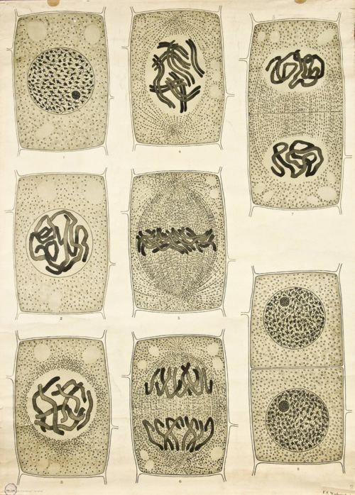 'Anatomia vegetal' by Frederik Elfving (1929): Visualising the Cell Nucleus