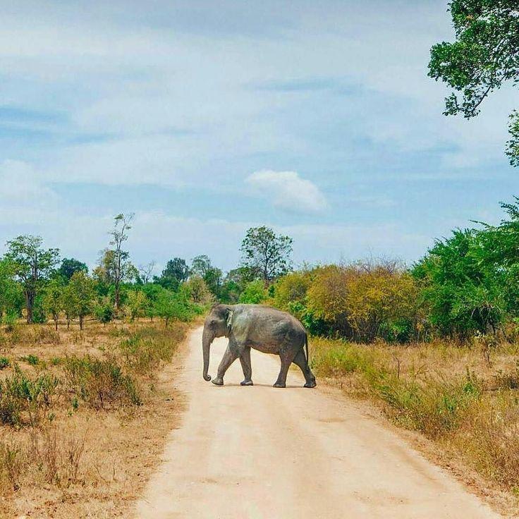 Elephant crossing the road @udawalawa national Park - Sri Lanka.  Photo by @adventuresofsophh  #srilanka_excursion #daytours #excursions #beautifulphoto #naturelovers #beautifulsky #shorttrip #excursions #holidaytrip #trip #nextdestination #bestholiday #bestvacation #yoga #morning #wildlifephoto #wildlifephotography #safari #animallover #naturephotography #beachlife #udawalawanationalpark #naturetour #wildlifeholiday
