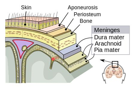 Meninges-en - Arachnoid mater - Wikipedia, the free encyclopedia